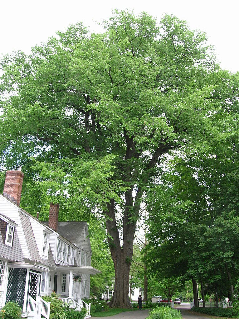 King of the Suburbs: The American Elm Tree