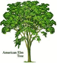 The Majestic Elm: A Brief History